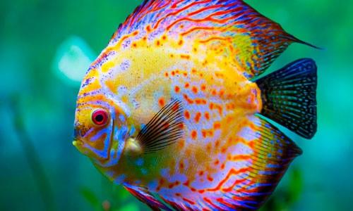 Peces disco fauna acuario for Productos para estanques de peces