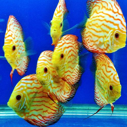 Peces disco fauna acuario for Modelos de estanques para peces